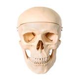 Medicinsk mänsklig skallemodell som används för att undervisa anatomisk vetenskap Arkivfoton