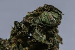 Medicinsk marijuana, cannabis, Sativa som är indica, Trichomes, THC, CBD, cancerbot, ogräs, blomma, hampa, gram, knopp Arkivbilder