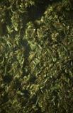 Medicinsk marijuana RX Arkivfoton