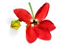Medicinsk Olatkamba blomma Arkivbild