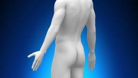 Medicinsk röntgenstrålebildläsning - njure stock illustrationer