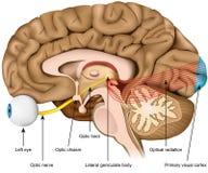 Medicinsk vektorillustration för optisk nerv som och för optiskt område isoleras på vit bakgrund royaltyfria bilder