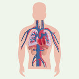 Medicinska mänskliga organ Arkivbilder