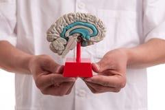 Medico con il modello del cervello in sue mani Fotografia Stock