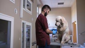 Medico del veterinario che benda cane dopo il campione di sangue archivi video