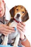 Medico veterinario e un cucciolo del cane da lepre immagini stock