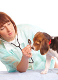 Medico veterinario e un cucciolo del cane da lepre fotografie stock