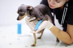 Medico veterinario femminile durante l'esame di clinica veterinaria fotografie stock