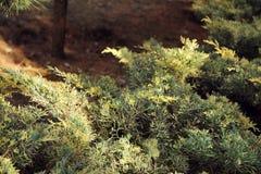 Medien der Juniperus x, Blie und Gold, im nationalen botanischen Garten in Tiflis im Winter Lizenzfreie Stockfotos