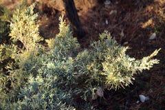 Medien der Juniperus x, Blie und Gold, im nationalen botanischen Garten in Tiflis im Winter Stockfotografie