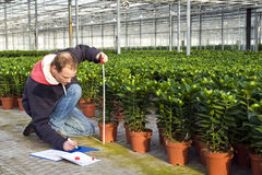 Medindo a altura de plantas da estufa Fotos de Stock Royalty Free