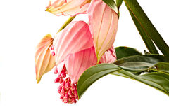 Medinilla Royalty Free Stock Photos