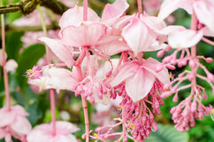 Medinilla magnifica, Melastomataceae, pink flowers in the rainfo Royalty Free Stock Photos