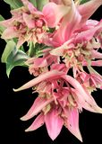 Medinilla. A true pink flower fireworks shows the photographer and inspires him Stock Images