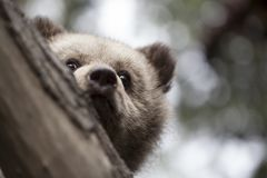 Medio oso del bebé de la cara detrás del árbol Imagenes de archivo