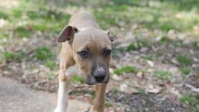 Medio Pitbullpuppy - met maat hond stock afbeeldingen
