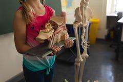 Medio sectieschoolmeisje die anatomisch model in klaslokaal houden stock foto