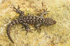 Mediodactylus kotschyi, full length Stock Photo