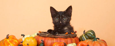 Medios cosecha social del otoño del gatito de la bandera Foto de archivo libre de regalías