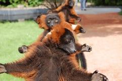 medios monos dulces en el parque zoológico   Foto de archivo libre de regalías