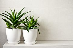 Medisch kruidaloë Vera in potten op badkamersplank stock afbeelding