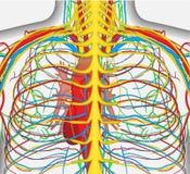Medisch omvat de nauwkeurige vectorillustratie van menselijke achterborst, zenuwstelsel, aders, slagaders, hart, enz. Royalty-vrije Stock Foto