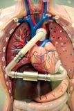 Medische apparatuur, het model van het menselijk lichaamshart Royalty-vrije Stock Foto
