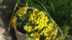Medische kruidinstallatie van Tansy Tanacetum vulgare in de mand stock footage