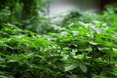 Medische marihuana Stock Foto's
