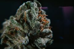 Medische Marihuana, Indica Cannabis, Sativa, Trichomes, THC, CBD, kankerbehandeling, onkruid, bloem, Hennep, gram, knop Royalty-vrije Stock Fotografie