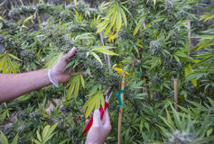 Medische marihuanaoogst stock foto's