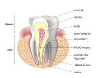 Medische structuur van de tand, illustratie Stock Foto