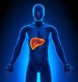 Medische Weergave - Mannelijke Organen - Lever Royalty-vrije Stock Afbeelding
