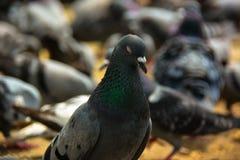Meditando o pombo Imagem de Stock