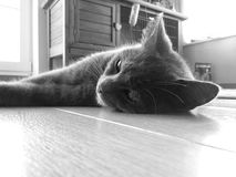 Meditar da beleza do gato de Chatreaux Fotos de Stock