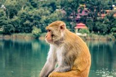 Meditatieve aap Stock Foto's
