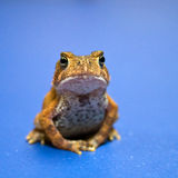 Meditating American Toad royalty free stock photography