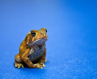 Meditating American Toad Stock Image