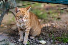 Meditating Brown striped cat selling his cute. Brown striped cat is meditating Stock Images