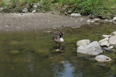 Meditating Goose. A goose is meditating in a rock, lifting one of its leg Stock Photos