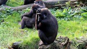 Meditating gorilla stock footage