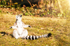 Meditating lemur. Meditating ring-tailed lemur. Space for text Royalty Free Stock Image