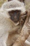 Meditating monkey Stock Photography