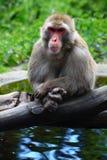 Meditating Monkey. A calm monkey upon the lake Stock Photography