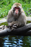 Meditating Monkey upon the lake Royalty Free Stock Photos