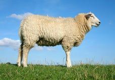 The meditating sheep Stock Photo