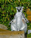 Meditation is the path to enlightenment. A ring tailed Lemur bathing in the sun Royalty Free Stock Image