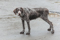 Meditations of an old dog about former hunting feats Royalty Free Stock Photo
