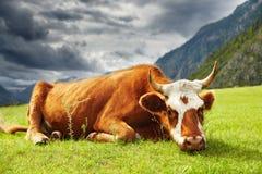 Meditative cow Royalty Free Stock Photo