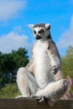 Meditative ring-tailed lemur Royalty Free Stock Photo